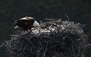 小红尾鵟原本是秃鹰给宝宝的美餐 身陷鹰巢却被收编
