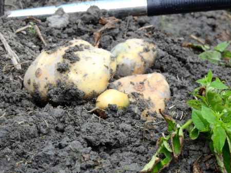 潭子地區的馬鈴薯年產量可達4,200公噸,是全台第五大,品質更是數一數二。