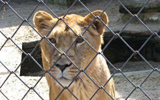男子打开铁笼后 一只狮子猛扑向他 其后的原因好暖心