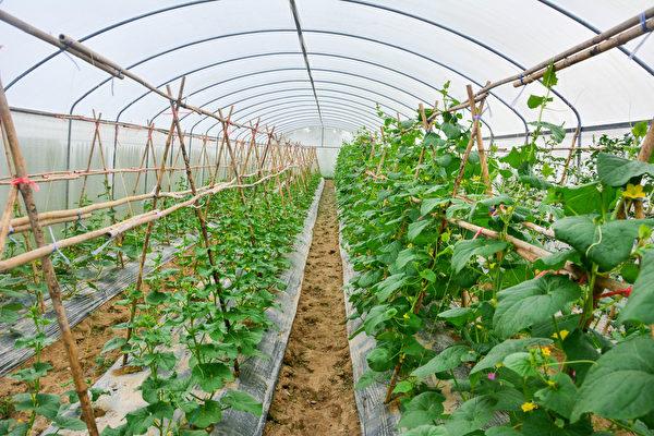 蔬菜养分丧失80% 现代种植让我们失去什么?