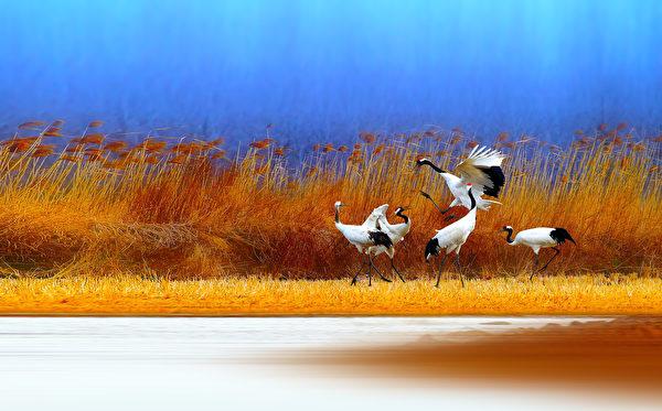 有鶴來儀。(Wang LiQiang/Shutterstock)