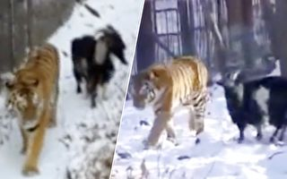 人們把山羊扔給老虎餵食 沒想到最匪夷所思的一幕發生了