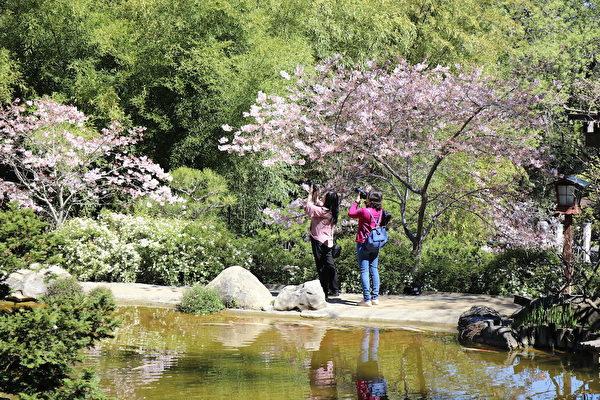 旧金山南湾箱根公园樱花盛开 赏樱正当时