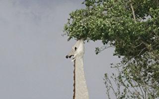 非洲拍到罕見白色長頸鹿 如夢幻一般