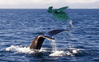 罕見一幕 殺人鯨將海龜拋到空中 逗弄完後…