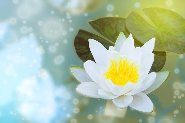 白色的睡莲花