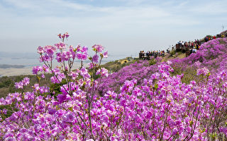 组图:高丽山金达莱粉红花海 壮观美丽