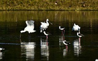 春季賞鳥正夯 高蹺鴴「黑白潮」新竹金城湖報到