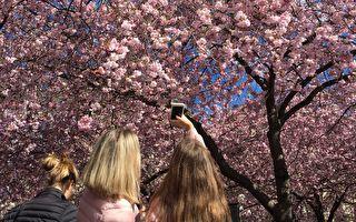 5月沒櫻花賞? 這個國家超美櫻花大爆發