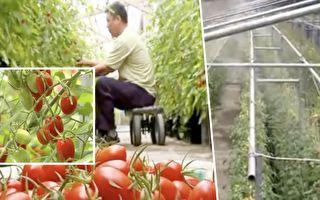 """鸡舍变农场不怕病害 屏东农""""篮耕""""种出高品质蕃茄"""