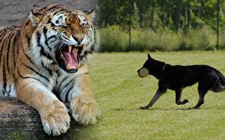 東北虎像是就要吞下黑狗 然而說時遲那時快…