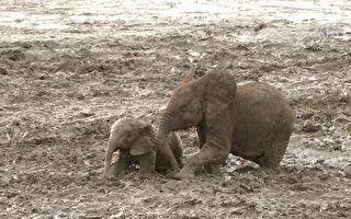 小象掉入泥潭中出不来 这时永远不会放弃小象的它出现了…