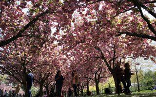 布碌崙櫻花節週末登場 體驗日本風情