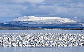 湖边雪花纷飞伴随巨响 原是万只雪雁起航!
