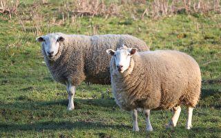 喜见胖嘟嘟绵羊 听到它的呼声游客惊呼竟是……