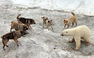 """北极熊偷狗食遭围困 熊妈""""1对5""""护崽"""