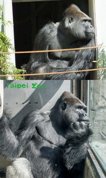 台灣金剛寶寶荷蘭組家庭 練習與3母猩相處