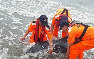負傷鯨豚擱淺 台海巡官兵挖水坑助保濕救援