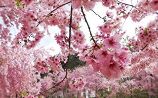 组图:台赏樱秘境 樱花之美让日本人感动