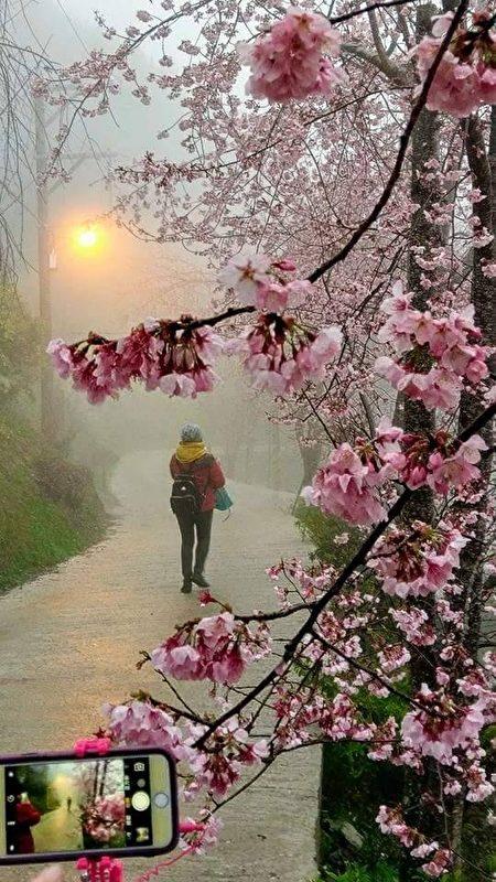 组图:台湾赏樱秘径 樱花之美让日本人感动