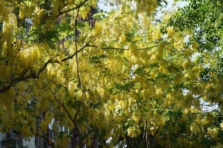 五月是阿勃勒盛開季節,高雄市文化中心一帶耀眼「黃金雨」佈滿天際。