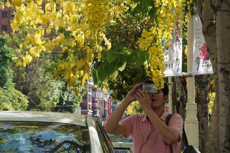 五月是阿勃勒盛開季節,高雄市文化中心一帶耀眼「黃金雨」佈滿天際,吸引民眾駐足拍照。