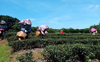 东方美人茶技术竞赛  参赛茶农精进制茶技术