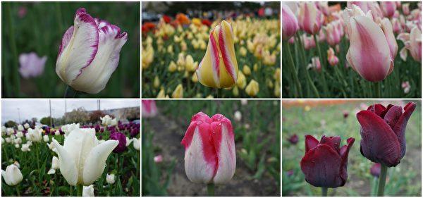 Hollad市Dunton Park盛开的各种郁金香花。