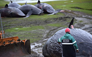 解剖搁浅抹香鲸 除了乌贼还有水桶、鱼网