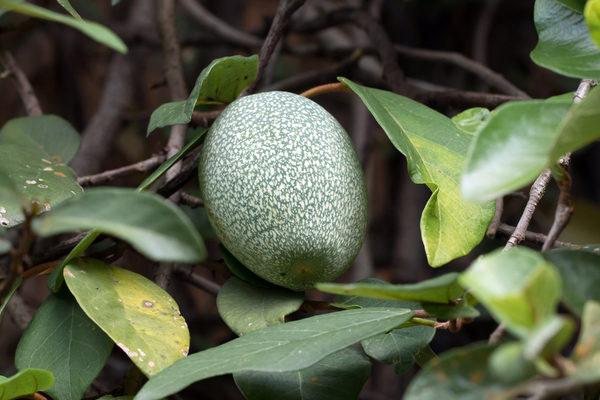愛玉的「隱花果實」內部藏有一、二萬朵的小花。(Shutterstock)