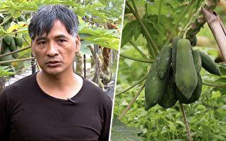 别人都除草 他却让杂草丛生 没想到种出的木瓜超级好吃