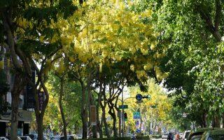 夏天黄金雨 文化中心阿勃勒盛开