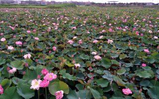 金山清水农地友善牡丹莲绽放 赏花买花趁现在