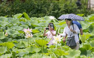组图:韩国洗美苑赏莲 享受初夏清凉