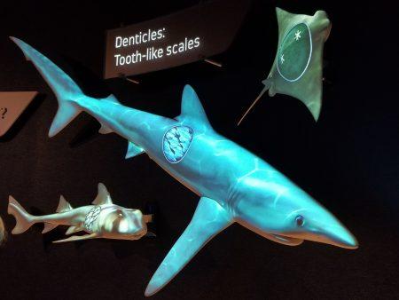 透过机械互动仪器可以观看鲨鱼的身体结构。