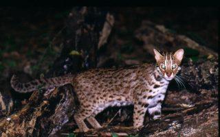 濒临绝种石虎嘉义现踪  石虎保育增契机