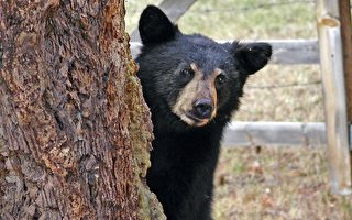 敢跟小熊抢位置 惊险一瞬间 男子超淡定