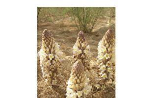 这种沙漠植物 可预防失智、脑部退化