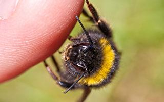 虎头蜂凶猛威力大 7招防蜂螫