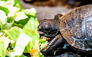 亚达伯拉象龟宝宝孵化 跟爸妈体型差千倍