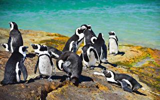 黑腳企鵝命運坎坷 許牠們幸福無憂的未來