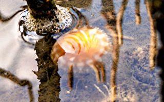 罕見「金色仙后」水母 現身台灣水母湖