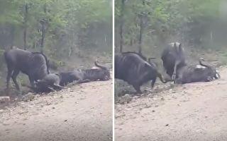 牛羚躺地上案情不单纯 好伙伴坚持努力叫醒它