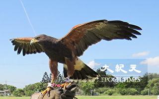 暑假训鹰体验 儿童安全亲近猛禽