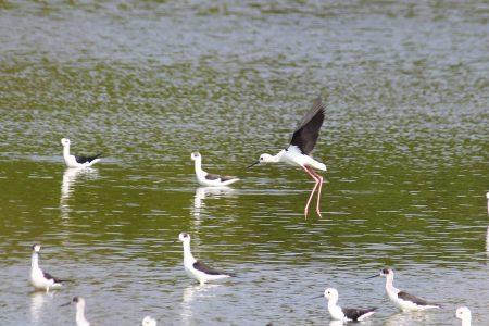 在水中停留与飞翔中的高跷鸻。