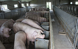 一天确诊四例 中国非洲猪瘟疫情呈爆发态势