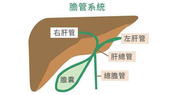 膽管癌大致分為肝內型和肝外型兩種。人的肝密集分布著一套膽管系統。