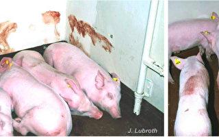 猪瘟扩散21省市 中共瞒着台湾 不按规通报