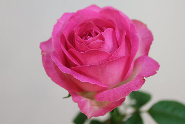 新玫瑰為七夕情人節添浪漫 交易量增數倍