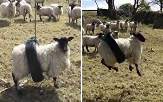 綿羊卡在輪胎「盪鞦韆」 網友觀感不一